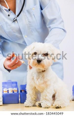 Veterinary treatment - vaccinating the Maltese dog - stock photo