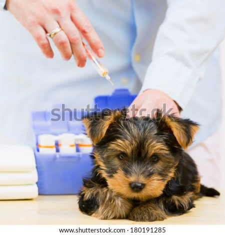 Veterinary treatment - vaccinating the Yorkshire puppy, veterinary care concept - stock photo
