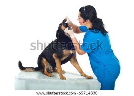 Veterinary woman look inside the dog's mouth in a  veterinary office - stock photo