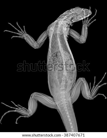 Veterinary x-ray - green iguana (Iguana iguana) - stock photo