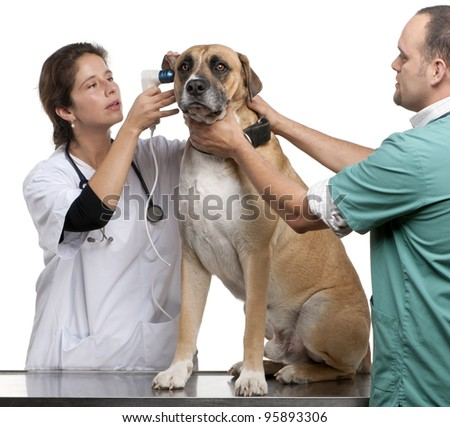 Vets examining a Crossbreed dog, dog's ear with an otoscope in front of white background - stock photo