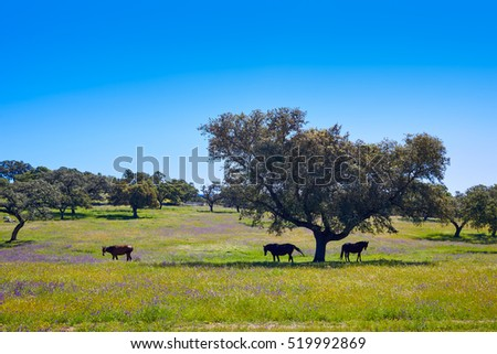 Via de la Plata way dehesa horses grasslands in Extremadura of Spain