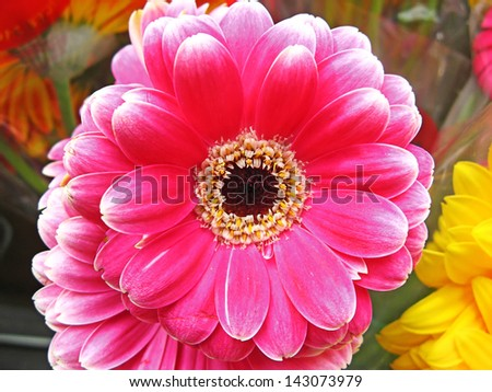 Vibrant and colorful gerbera flower at spring - stock photo
