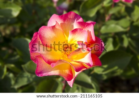 Vibrant and colorful pink and yellow rose in the nature - stock photo