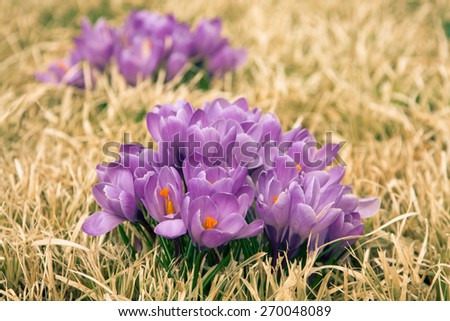 Vibrant and colorful, the first sign of spring. - stock photo