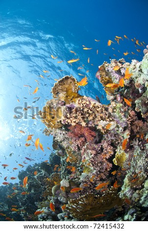 Vibrant and colourful underwater tropical coral reef scene, buzzing with orange anthias. Woodhouse reef, Straits of Tiran, Red Sea, Egypt.