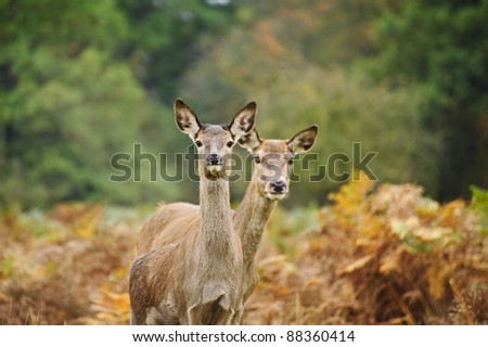 Vibrant Autumn Fall image of red deer does in forest