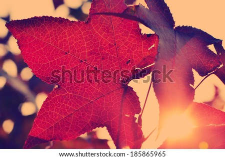 Vibrant autumn leaves backlit by the setting sun, eco background - stock photo