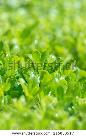 Vibrant background of laurel leaves with raindrops - stock photo