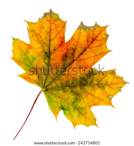 Vibrant colored autumn maple leave (leaf), isolated, white background. - stock photo