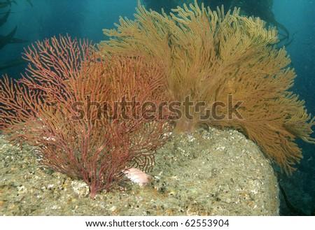 vibrant colored soft coral underwater Anacapa Island, California - stock photo