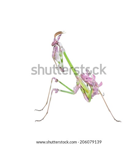 Vibrant colored tropical raptor insect mantis in fighting stance isolated on white - stock photo