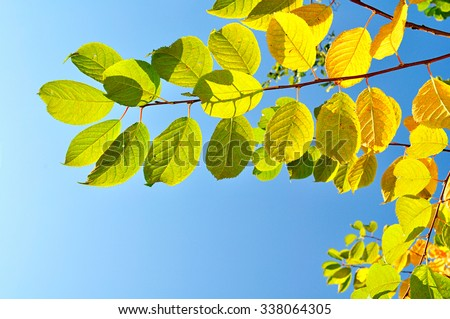 Vibrant colored yellow leaves of bird cherry tree against bright blue sky under sunlight - autumn natural background  - stock photo