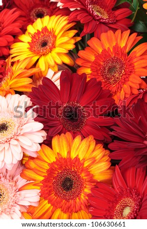 Vibrant Colorful Daisy Gerbera Flowers, background