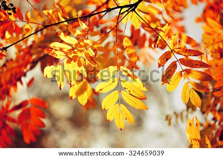 Vibrant colorful yellowed leaves of mountain ash  - bright autumn background of ashberry leaves in sunlight - stock photo