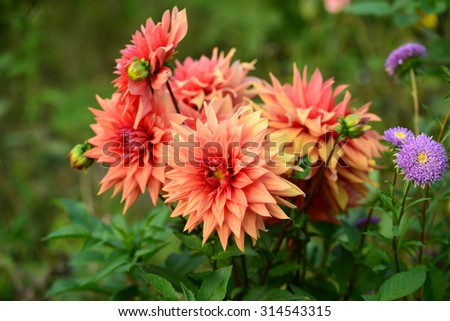 Vibrant dahlia flowers - stock photo