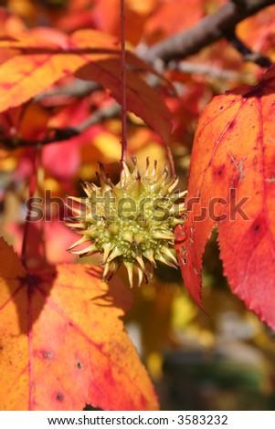 Vibrant fall foliage around a single nut - stock photo