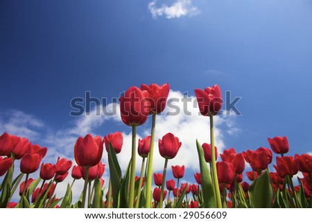 vibrant fresh red tulips in spring against a blue sky with white clouds
