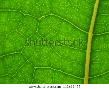 Vibrant green fiddle leaf close up for backgrounds or to see veins and cells, sharp at center, blur toward sides - stock photo