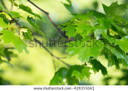 Vibrant leafs of the norway maple, Acer plantanoides