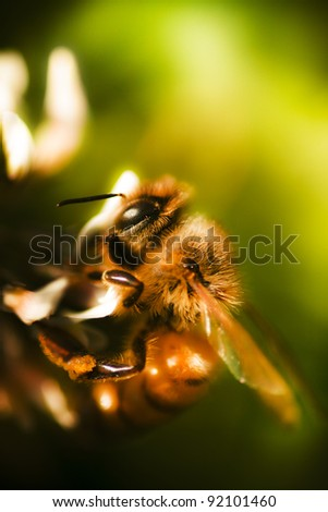 Vibrant Macro Nature Photograph Of A Bee Grasping On To The Petals Of A White Clover Flower During Natures Process Of Pollination