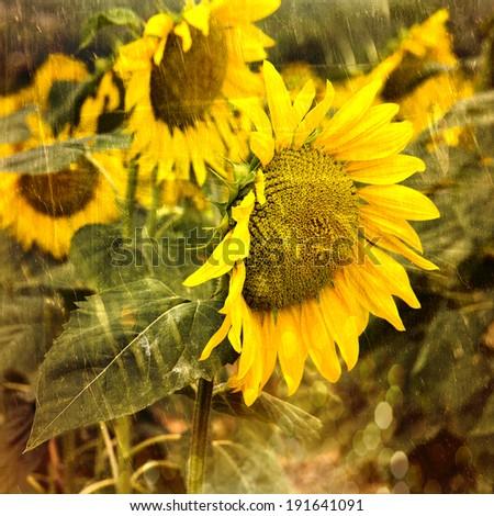 Vibrant macro of a sunflower - stock photo
