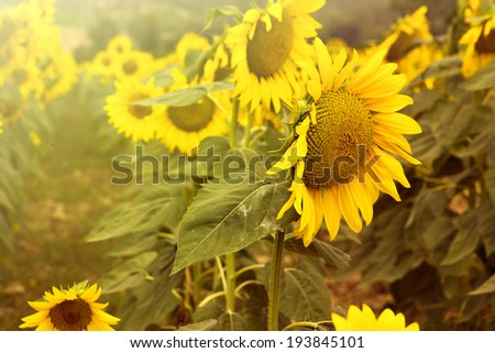 Vibrant macro of a sunflower - stock photo