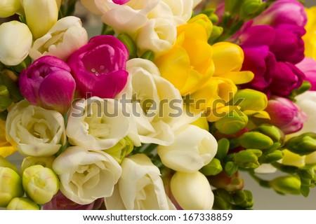 vibrant multicoloured fresh spring freesias blooming flowers - stock photo