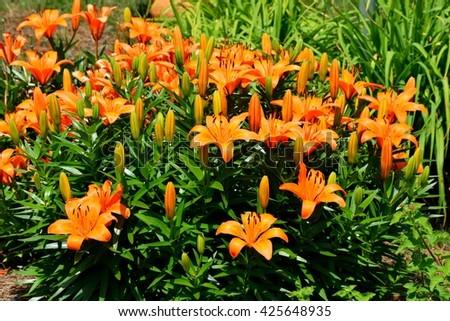 Vibrant Orange colored Day Lily - stock photo