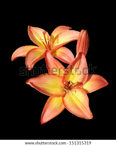 vibrant orange lily isolated on black - stock photo