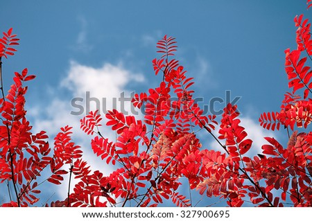 Vibrant picturesque purple leaves of mountain ash against blue sky under sunlight - autumn natural background, tonal processing - stock photo
