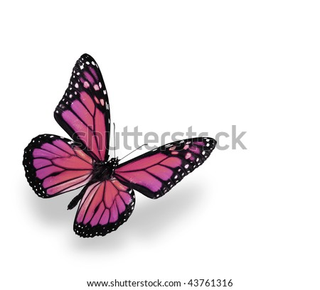 Vibrant Pink and Purple Butterfly Isolated on White. Soft shadow underneath. - stock photo