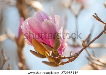 Vibrant pink magnolia blossom on a sunny day. - stock photo