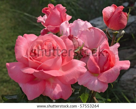 """Vibrant pink rose, variety """"Special Anniversary"""", growing in a natural garden setting. - stock photo"""