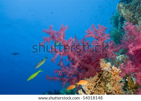 Vibrant pink soft coral growing on a tropical reef. Thomas reef, Sharm el Sheikh, Red Sea, Egypt. - stock photo