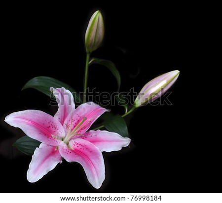 vibrant pink stargazer lily resting in corner with several un-opened buds. isolated on white - stock photo