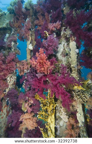 Vibrant  Purple Broccoli coral (Dendronephthya klunzingeri) growing on an artificial reef. Red Sea, Egypt.