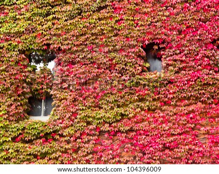 Vibrant red fall vine covering the stone wall of a building when the creeping leaves turn a vivid red - stock photo