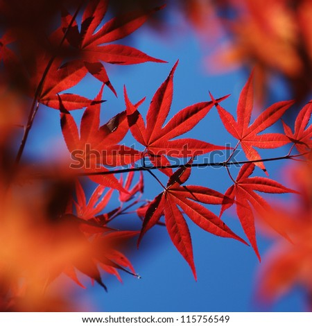 vibrant red maple leaves - stock photo