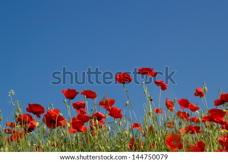 Vibrant red poppies against blue sky