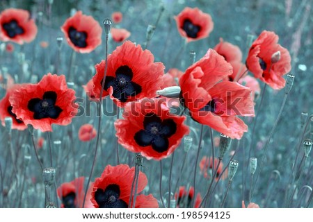 Vibrant red poppies in natural habitat - stock photo