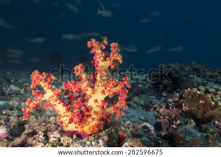 Vibrant red teddy bear coral regrowth on storm damaged coral reef in Oman - stock photo