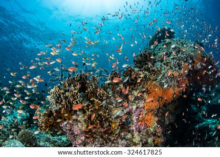Vibrant reef fish feed on plankton above a coral reef in Indonesia. This area harbors extraordinary marine biodiversity and is a popular destination for divers and snorkelers. - stock photo
