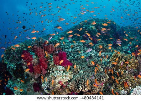 Vibrant reef fish swarm above a healthy coral reef in Fiji. This South Pacific island group is a favorite destination for scuba divers, snorkelers, and adventure-seekers.