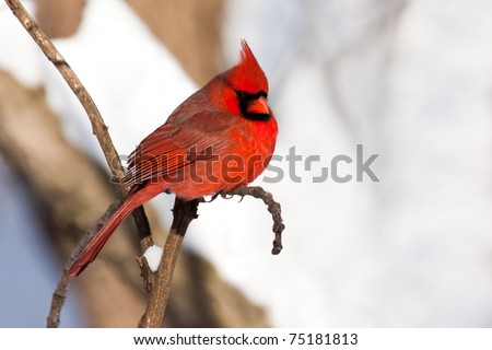 vibrant scarlet colored cardinal stands out in  snow covered woodland. majestic  bird is perched on a branch in the shallow focused snow kissed trees. - stock photo