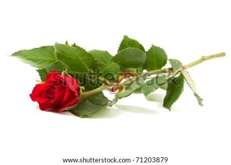 Vibrant Single Red Rose isolated on white background. - stock photo