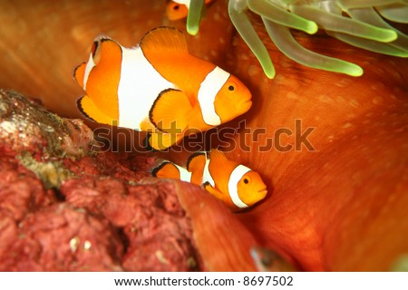 Vibrant soft corals and Clown fish darting amongst the stinging tentacles of the Sea Anemone - stock photo