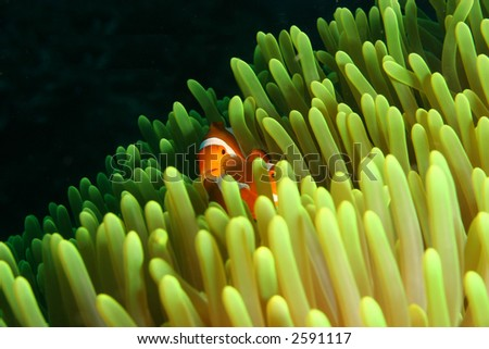 Vibrant soft corals and Clown fish darting amongst the stinging tenticles of the Sea Anomone - stock photo