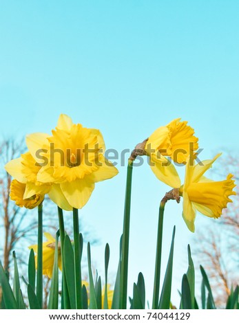 Vibrant spring daffodils against a blue sky - stock photo