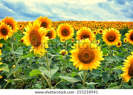 Vibrant summer field of blossoming yellow sunflowers - stock photo